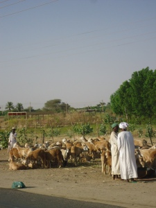 Since it was Eid, we saw lots of sheep being herded along side of the road.  Built on the biblical tradition of Abraham and Isaac (lamb to the slaughter) these poor sheep don't know what is awaiting them.  Families will purchase them..for about 2500 SDG--some save for the whole year or more to do it--they have a ritual of slaughtering them and then the meat is grilled and served at the holiday meal.